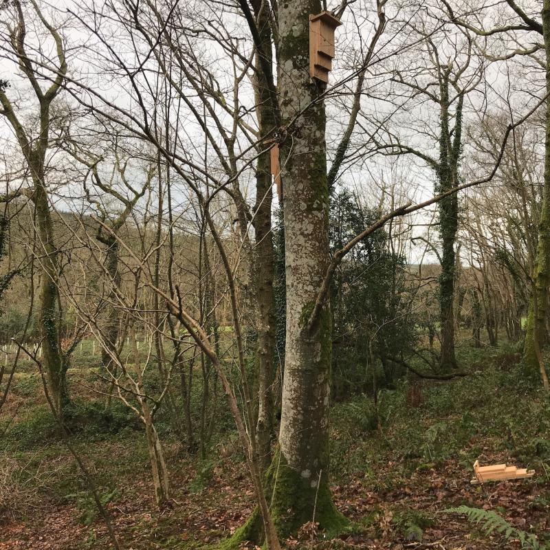 conservation project, bat boxes on a tree at Spreacombe