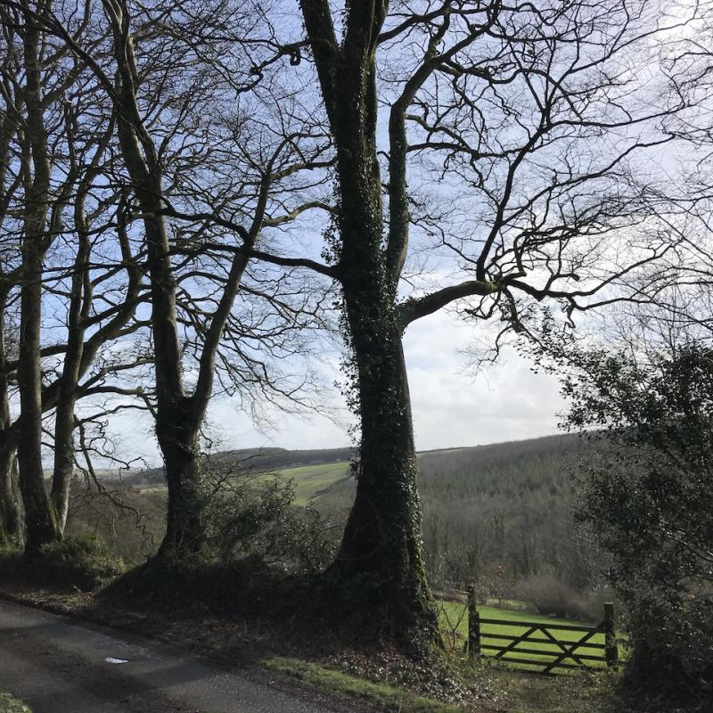 Blue sky, beech trees and the driveway to Spreacombe.