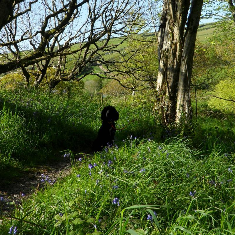 Dog walking through the bluebells in a wood close to our cottages