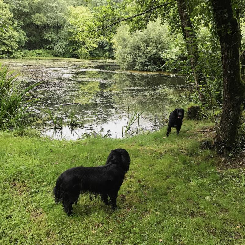 Two spaniels by the pond at Spreacombe Gardens self catering
