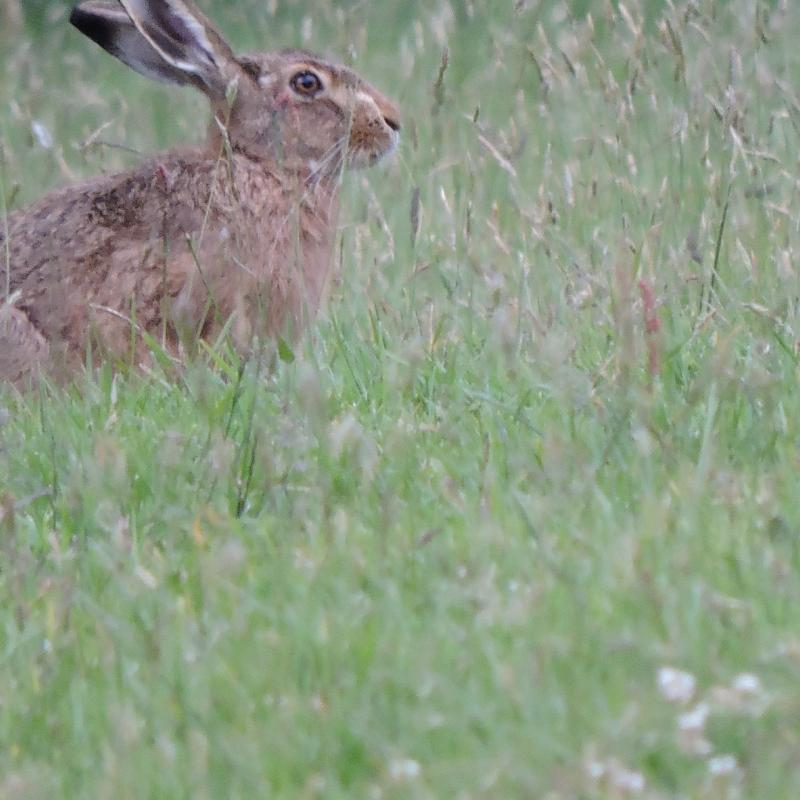 Hare in the field at Spreacombe