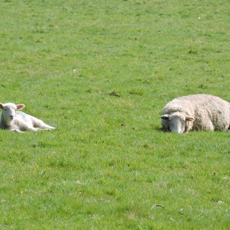 Sheep and lamb quietly relaxing in the field