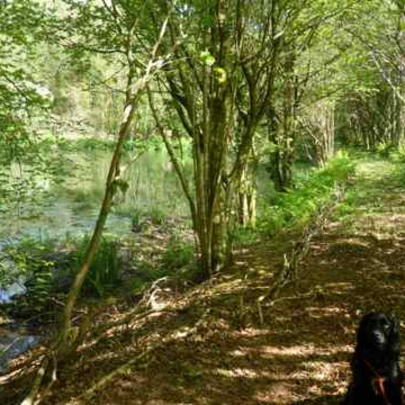 Dog walking on the Spreacombe Estate. This is a small stream by the pond area