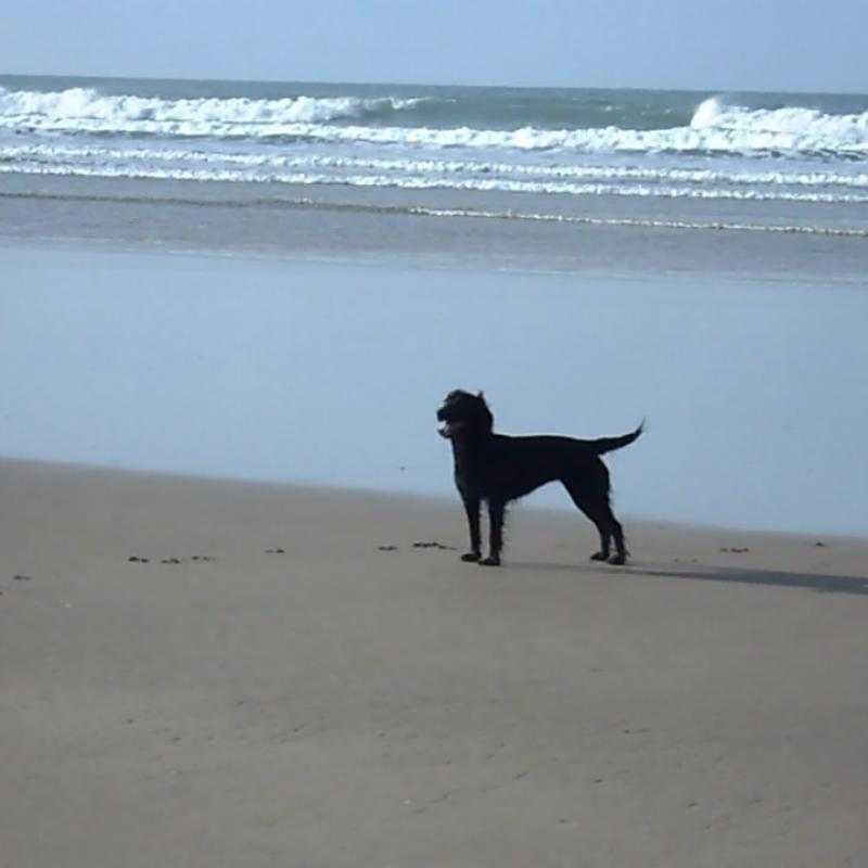 Black cocker spaniel standing on the off lead, dog friendly part of Wookacombe beach