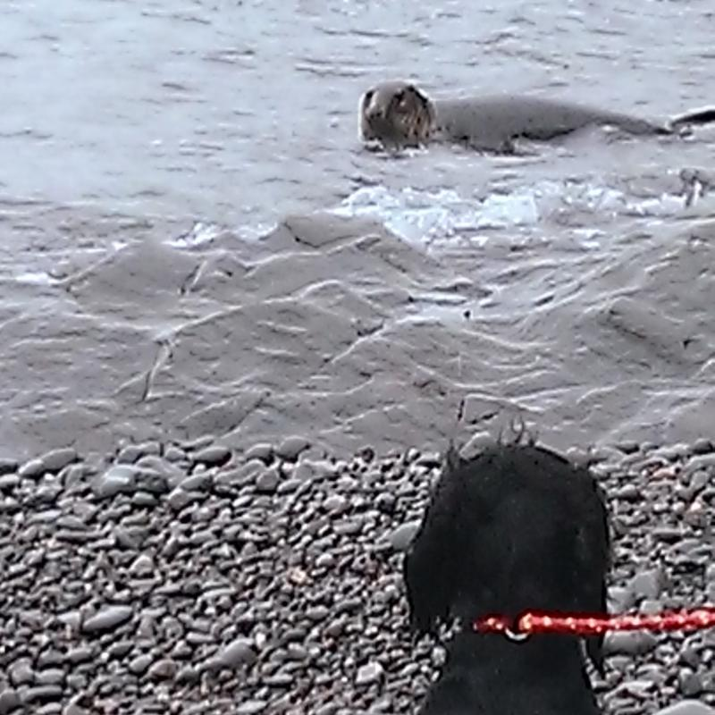 Wild seal meets dog at Heddons Mouth