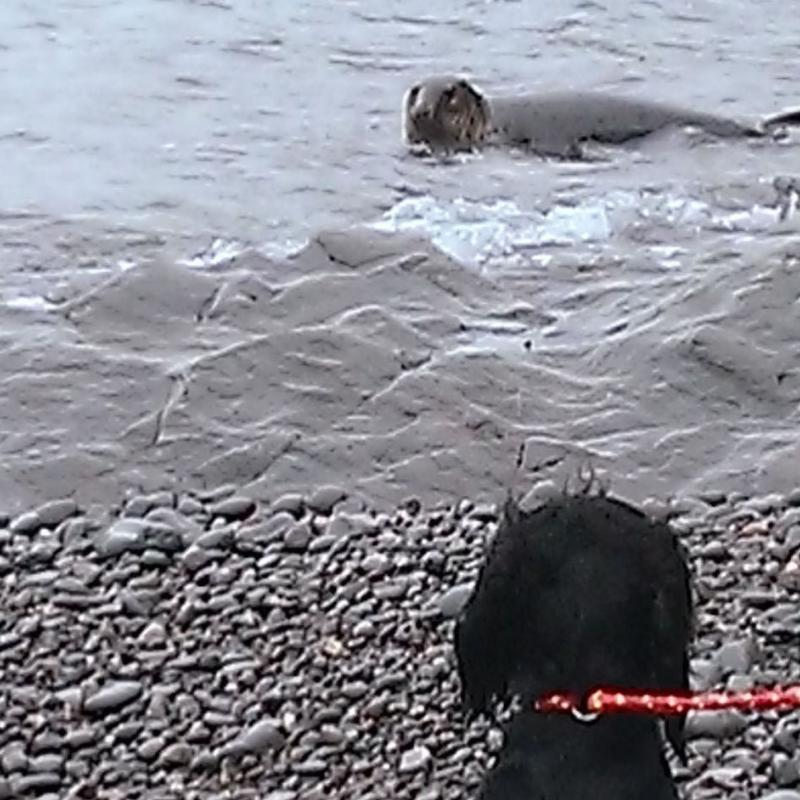 Seal meets dog at Heddon's Mouth, Exmoor.
